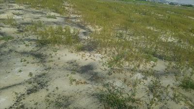 土壌消毒ー5_R.JPG